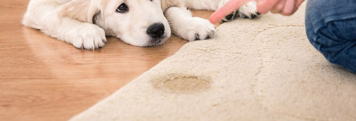 Remove Pet Stait From Carpet